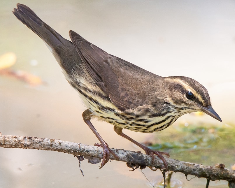 Northern Waterthrush northwest oregon columbia county