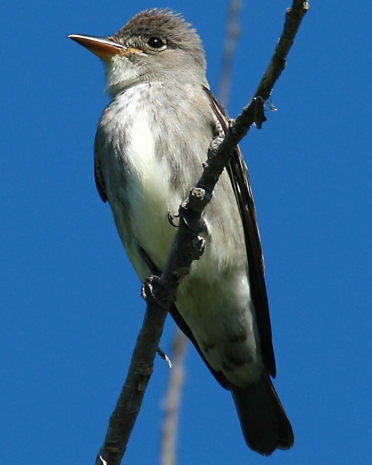 Olive-sided Flycatcher northwest oregon columbia county
