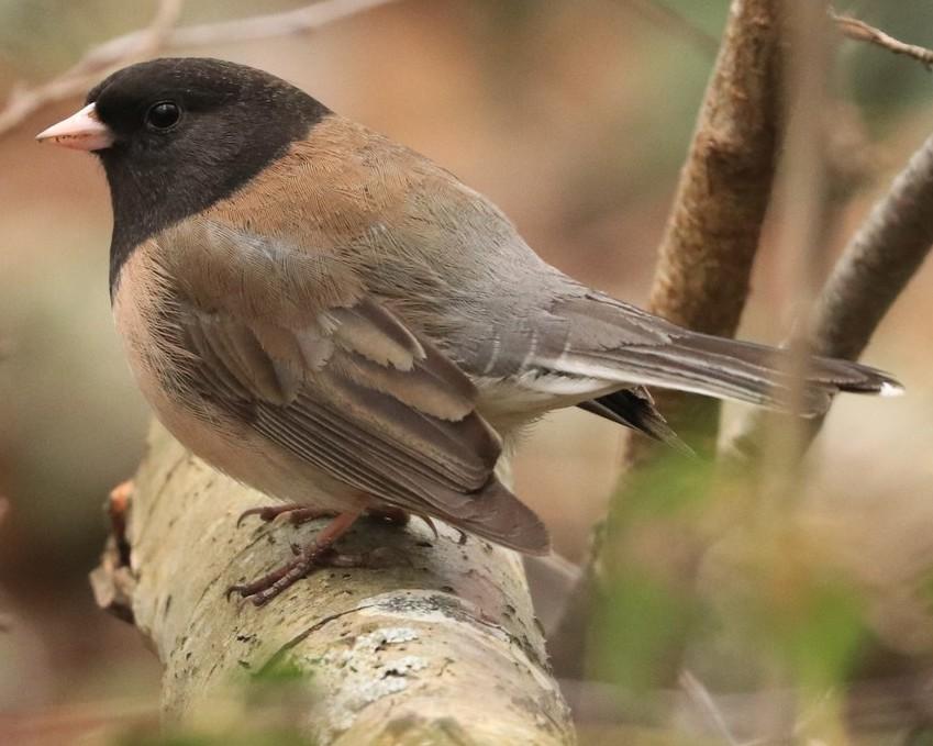 Oregon Dark-eyed Junco northwest oregon columbia county