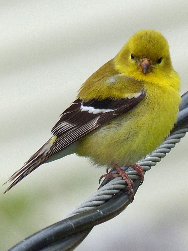 American Goldfinch finches and siskins of northwest oregon columbia county