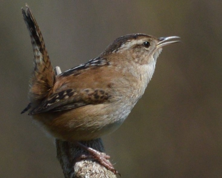 Marsh Wren northwest oregon columbia county