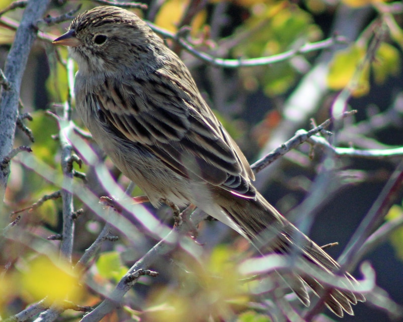 Brewer's Sparrow northwest Oregon columbia county