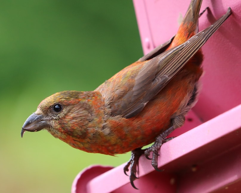 Red Crossbill northwest oregon columbia county
