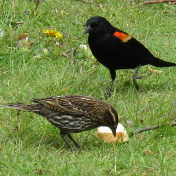 Red-winged Blackbird  male female northwest oregon columbia county