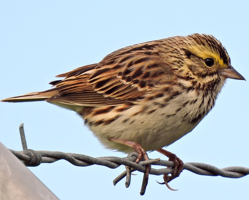 Savannah Sparrow northwest oregon columbia county