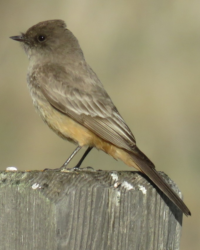Say's Phoebe Flycatcher northwest oregon columbia county