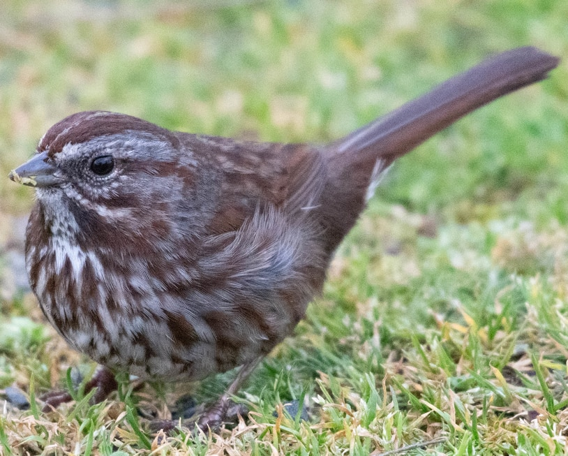 Song Sparrow northwest oregon columbia county