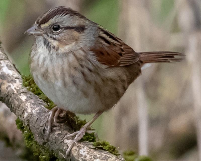 Swamp Sparrow northwest oregon columbia county