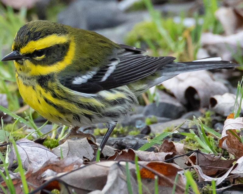 Townsend's Warbler northwest oregon columbia county
