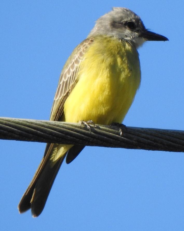 Tropical Kingbird Flycatcher northwest oregon columbia county