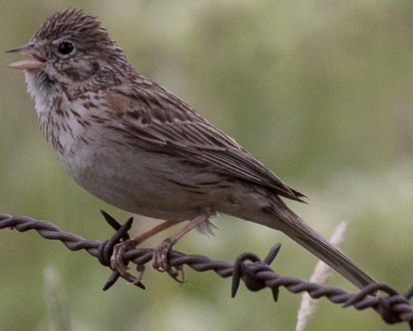 Vesper Sparrow northwest oregon columbia county