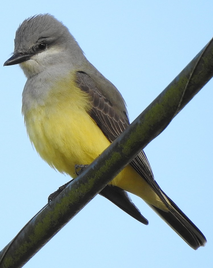 Western Kingbird Flycatcher northwest oregon columbia county