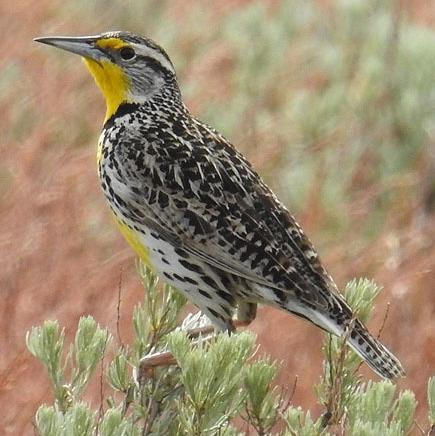 Western Meadowlark northwest oregon columbia county
