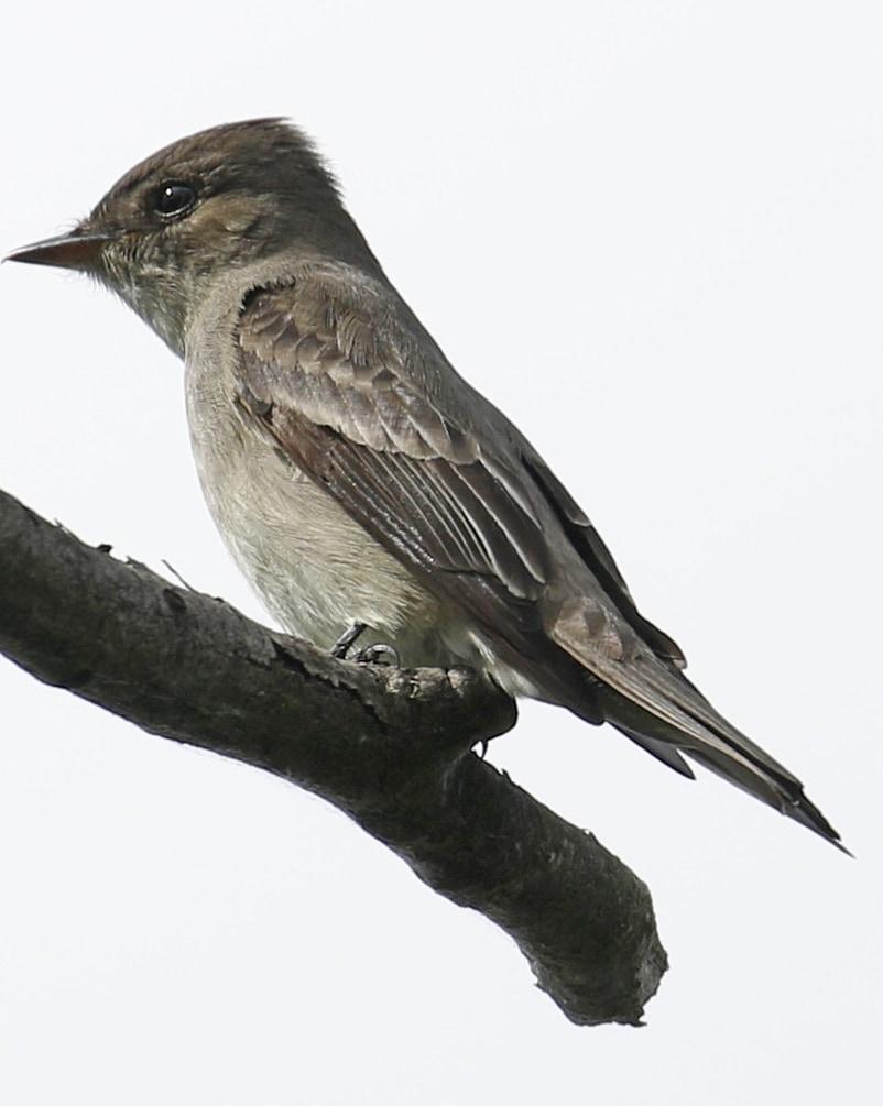 Western Wood-pewee flycatcher northwest oregon columbia county