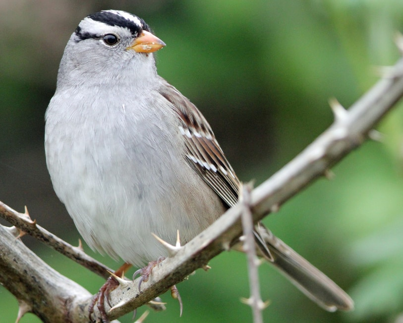 White-crowned Sparrow northwest oregon columbia county