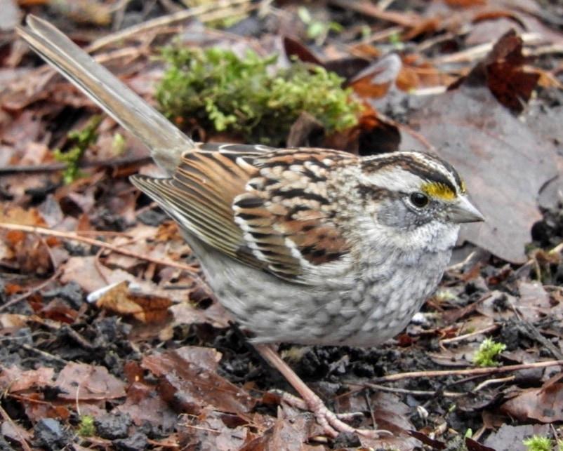 White-throated Sparrow northwest oregon columbia county