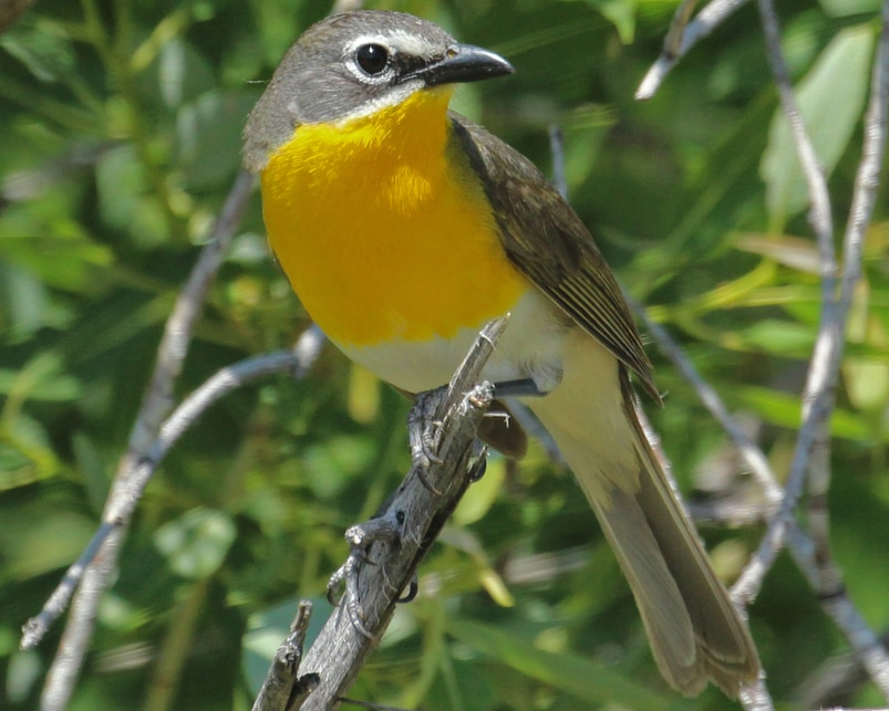 Yellow-breasted Chat northwest oregon columbia county