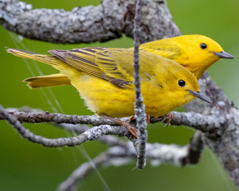 Yellow Warbler northwest oregon columbia county