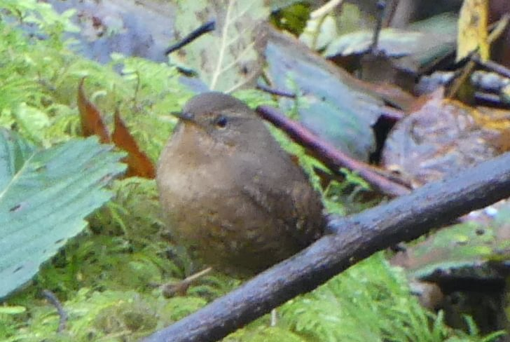 pacific wren salmonberry reservoir st. helens tree farm columbia county