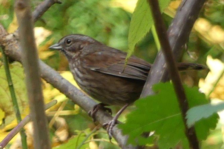 fox sparrow salmonberry reservoir st. helens tree farm columbia county