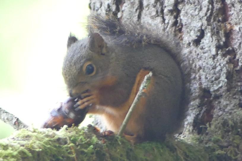 douglas squirrel cz trail crown zellerbach columbia county oregon