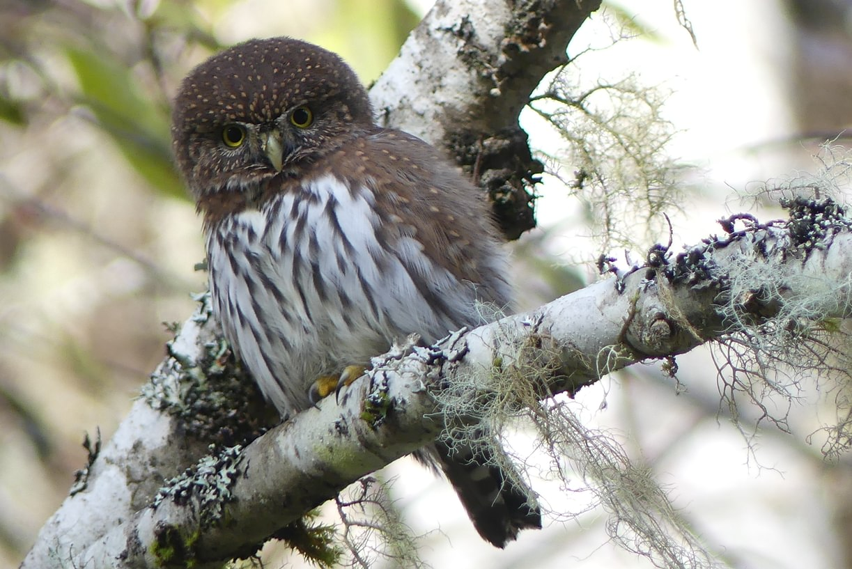 northern pygmy owl columbia county oregon