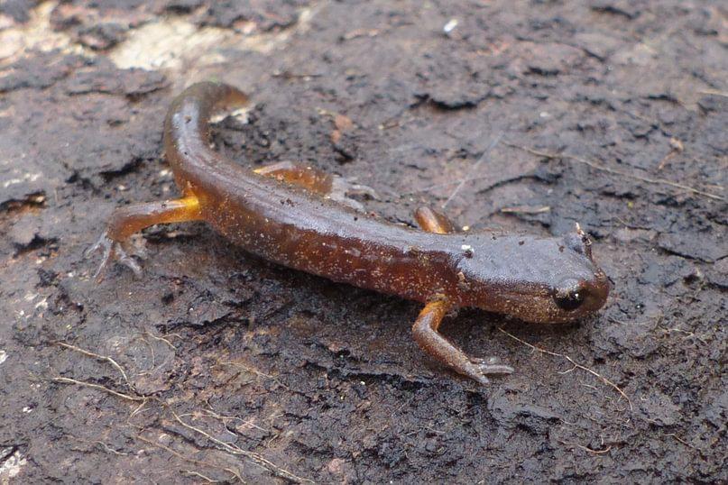 oregon ensatina salamander nob hill nature park st. helens oregon columbia county