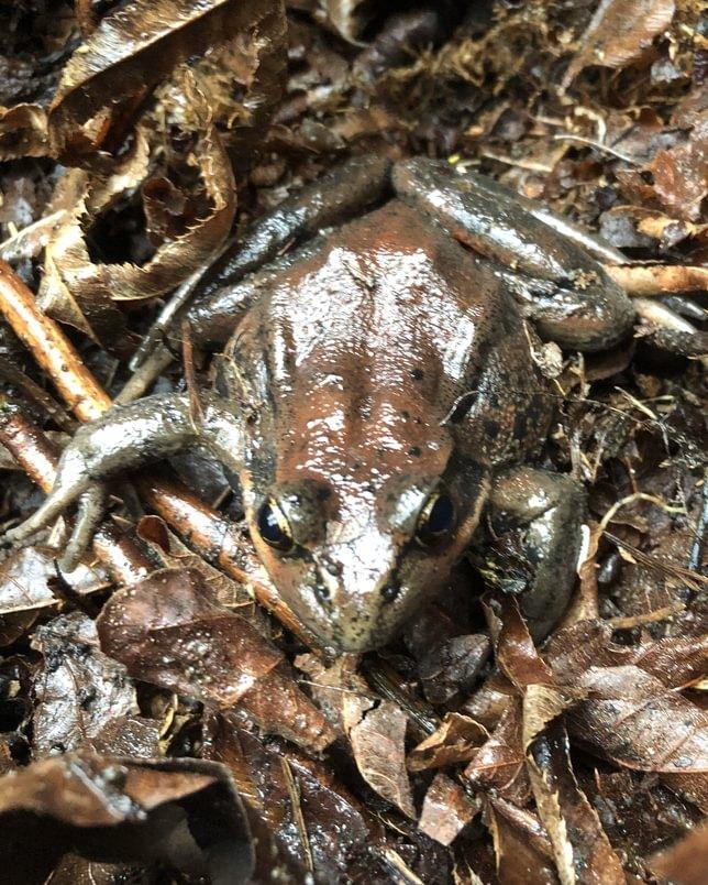 Northern Red-legged Frog jack falls old columbia river highway 30 prescott oregon