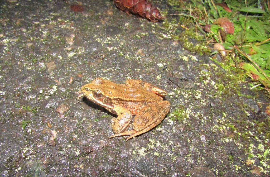 northern red-legged frog banks-vernonia state trail