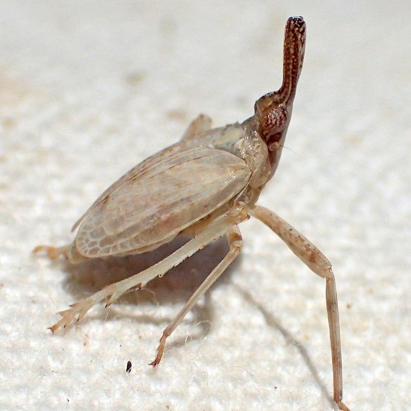 Abnormal Partridge Bug Scolops abnormis lanternfly