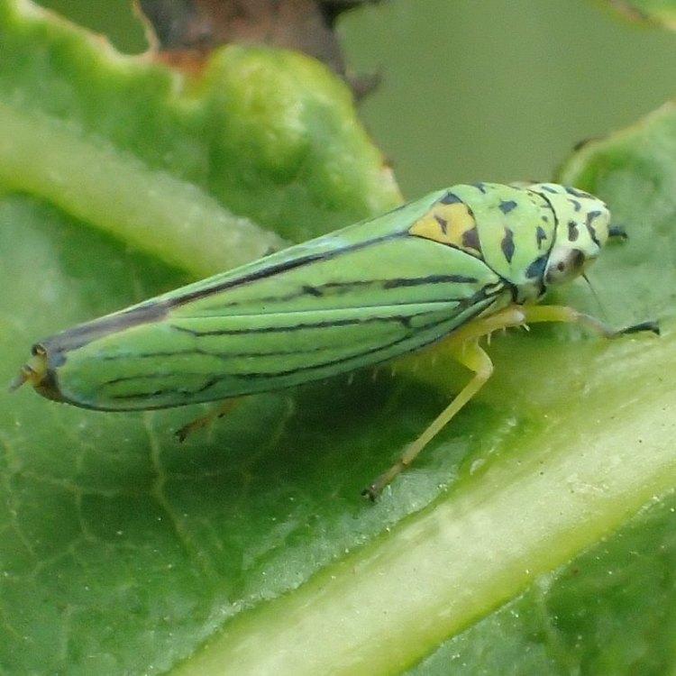 Blue-green Sharpshooter Graphocephala atropunctata columbia county northwest oregon
