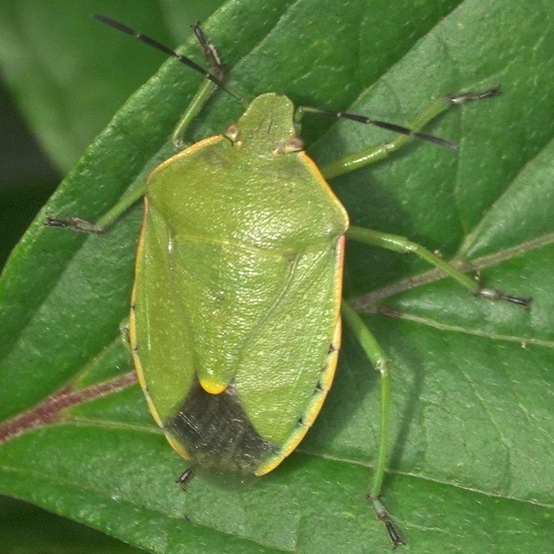 Conchuela Bug Chlorochroa ligata columbia county northwest oregon