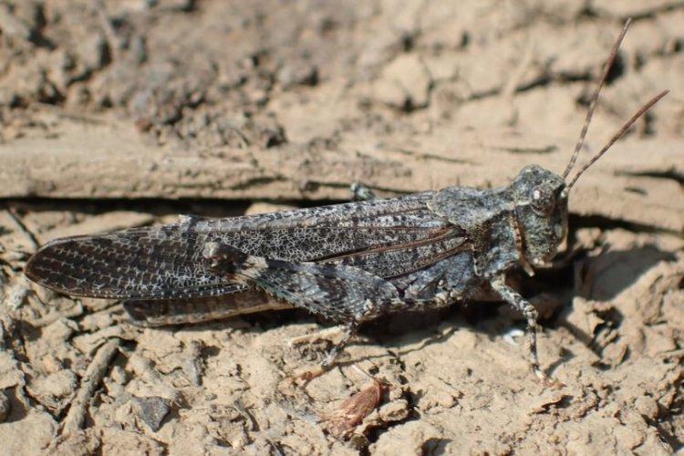 Crackling Forest Grasshopper Trimerotropis verruculata columbia county northwest oregon