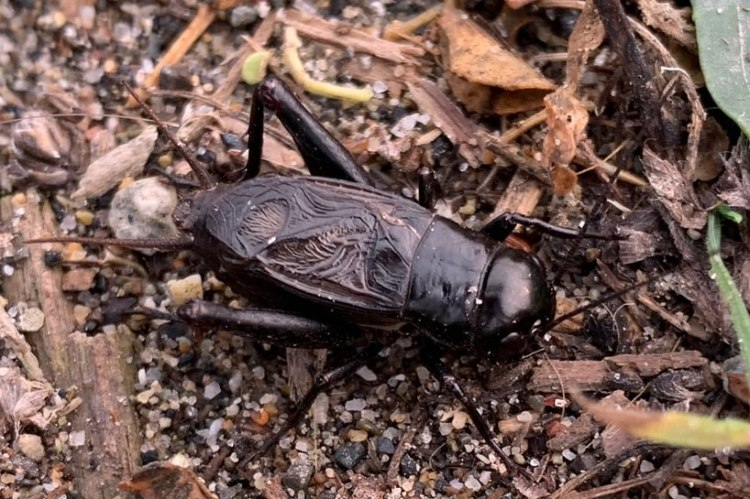 Fall Field Cricket Gryllus pennsylvanicus columbia county northwest oregon