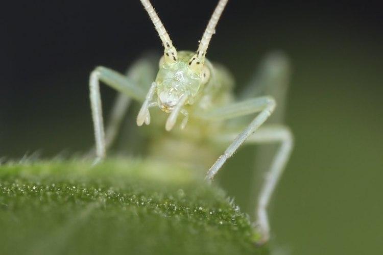 Four-spotted Tree Cricket Oecanthus quadripunctatus columbia county northwest oregon