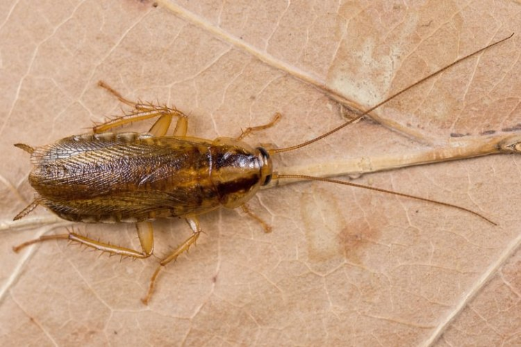 German Cockroach Blattella germanica columbia county oregon