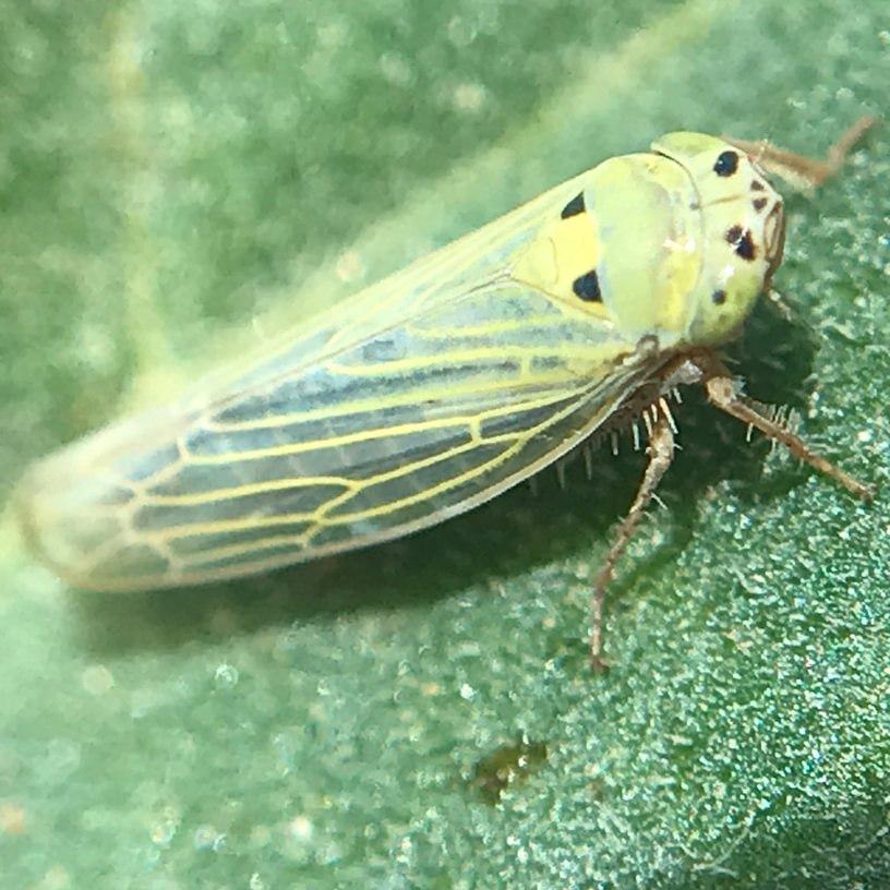 Germinate Leafhopper Colladonus geminatus columbia county northwest oregon