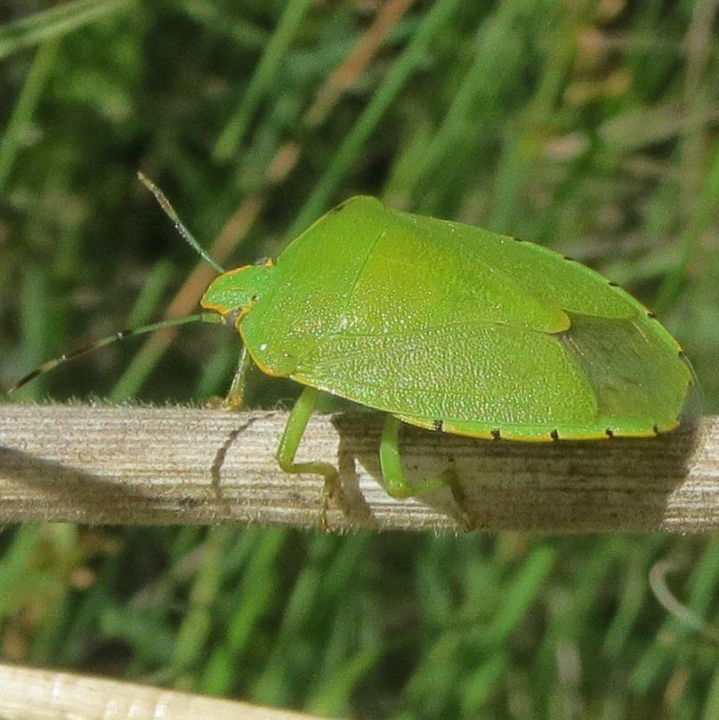 Green Stink Bug Chinavia hilaris columbia county northwest oregon