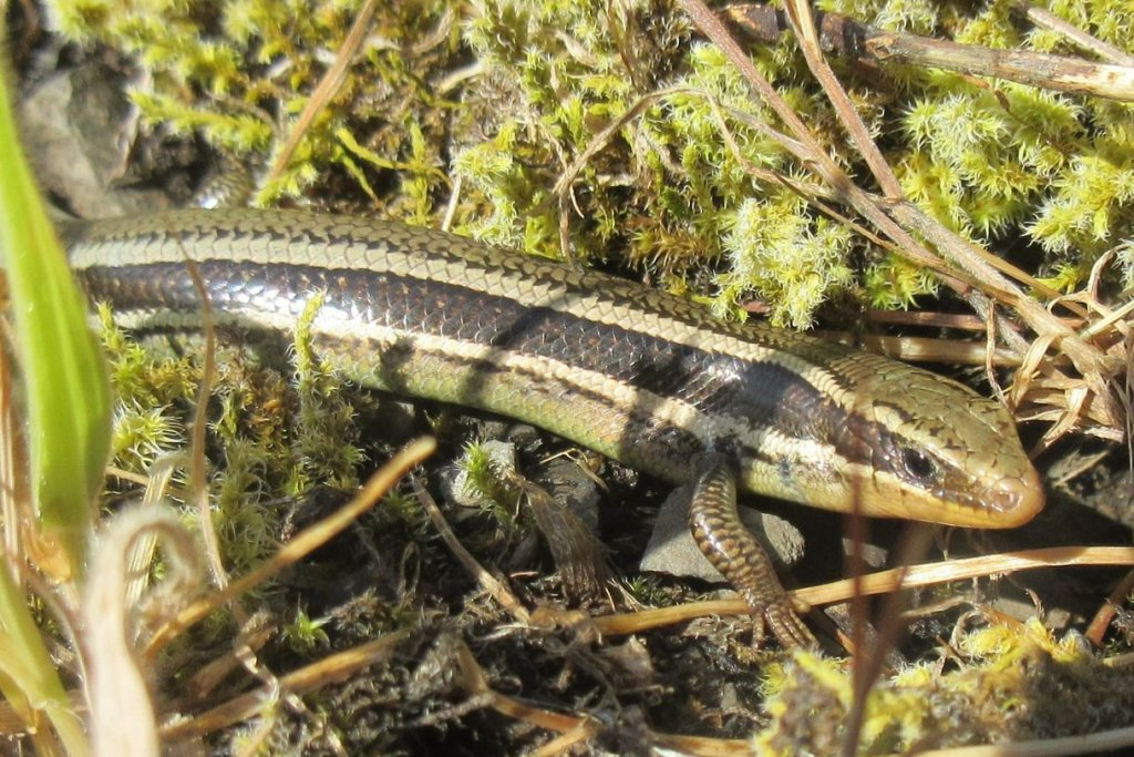 Western Skink Liberty Hill St. Helens Columbia County northwest Oregon