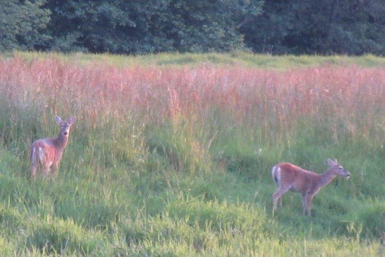 Columbian white-tailed deer does Odocoileus virginianus leucurus rainier columbia county northwest oregon