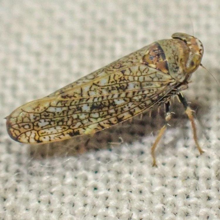 Japanese Leafhopper Orientus ishidae columbia county northwest oregon