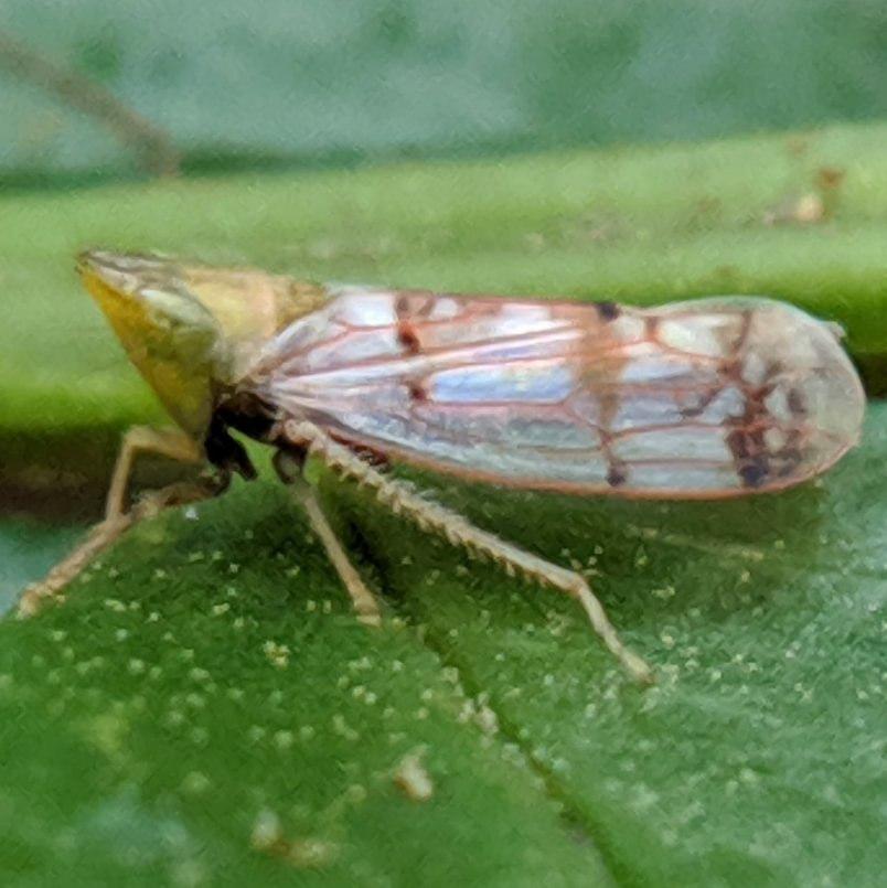 Japanese Maple Leafhopper (I) Japananus hyalinus