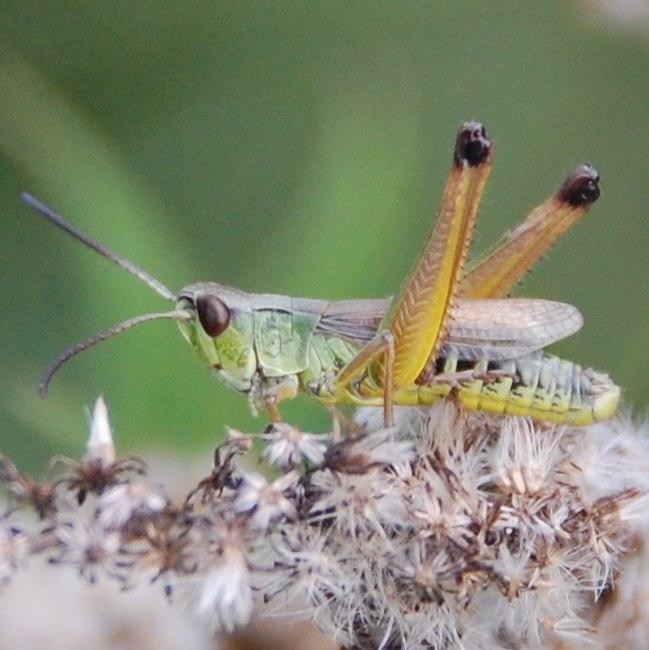 grasshoppers crickets katydids columbia county northwest oregon