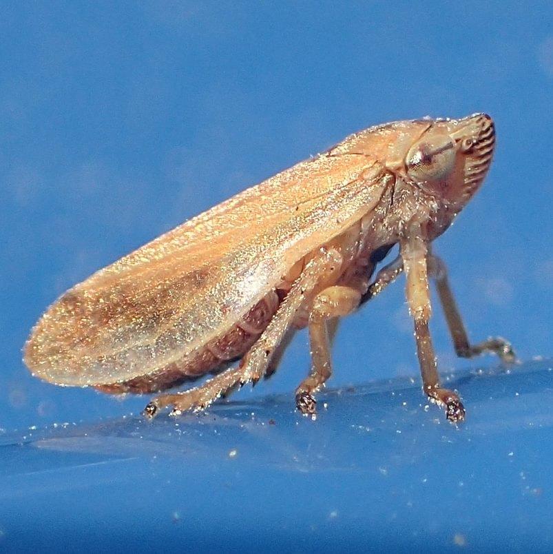 Meadow Spittlebug Philaenus spumarius adult columbia county northwest oregon