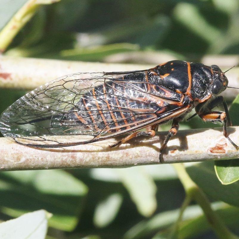 Cicada Cicadoidea of columbia county northwest oregon