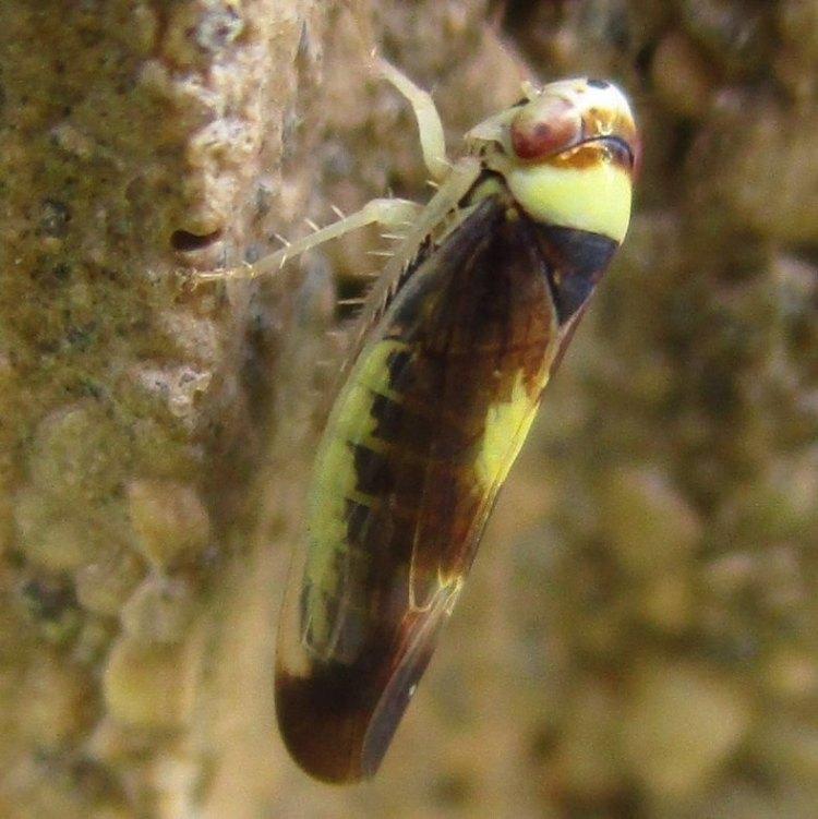 Mountain Leafhopper Colladonus montanus columbia county northwest oregon