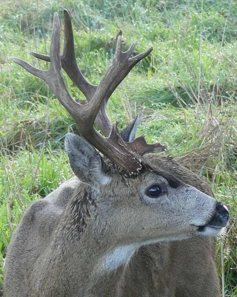 Columbian Black-tailed Deer Odocoileus hemionus columbianus blacktail columbia county northwest oregon