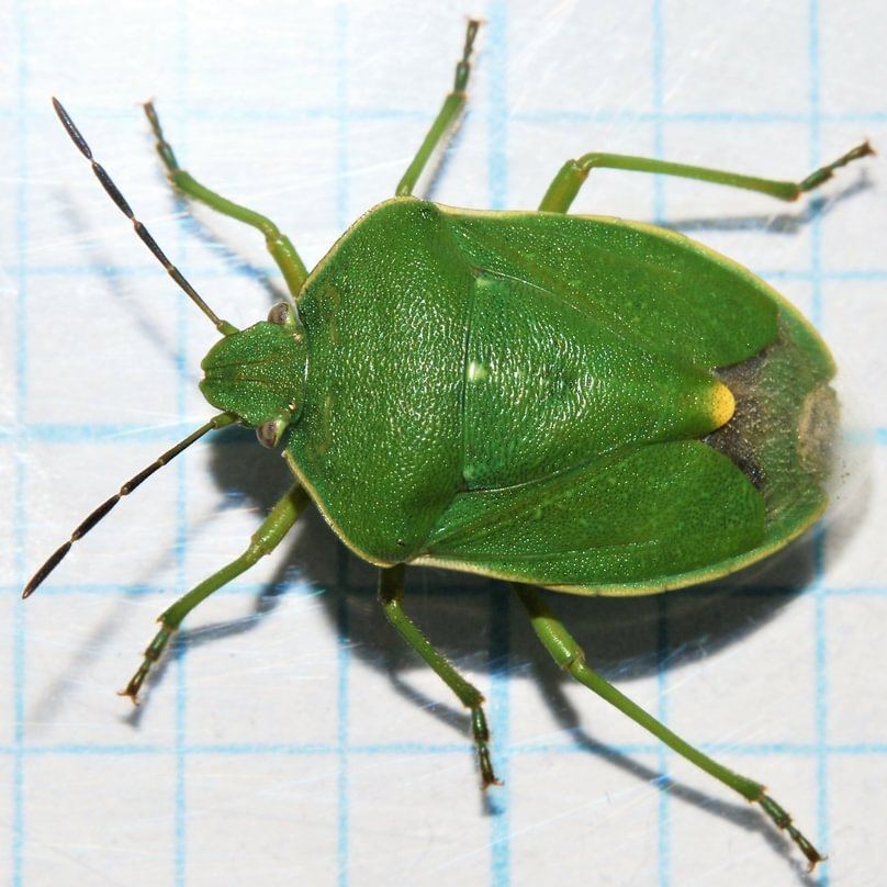 Pacific Stink Bug Chlorochroa rossiana columbia county oregon