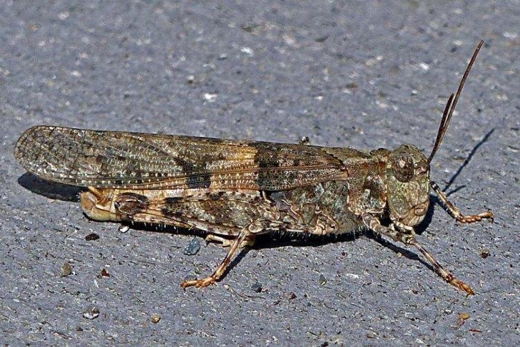 Pallid-winged Grasshopper Trimerotropis pallidipennis columbia county northwest oregon