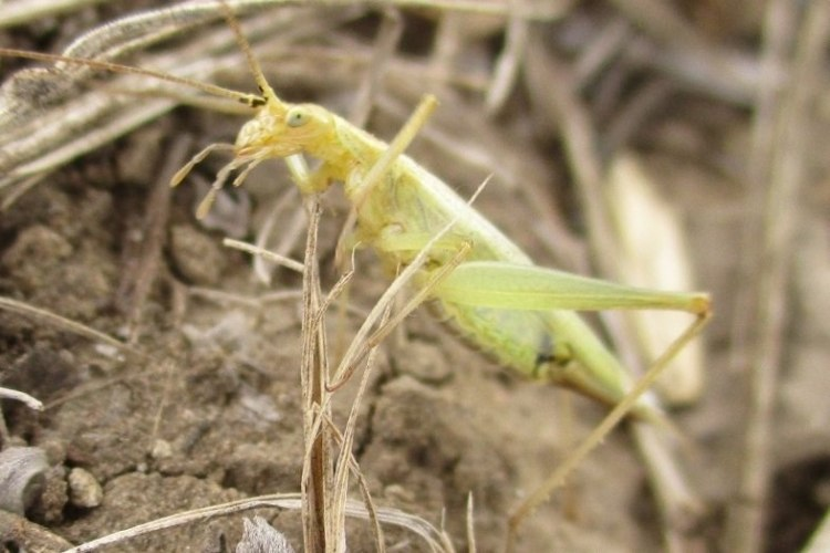 Prairie Tree Cricket Oecanthus argentinus columbia county northwest oregon